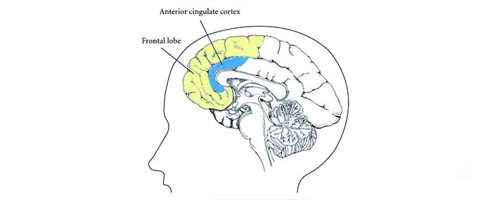 shut off the frontal and anterior cingulate cortex